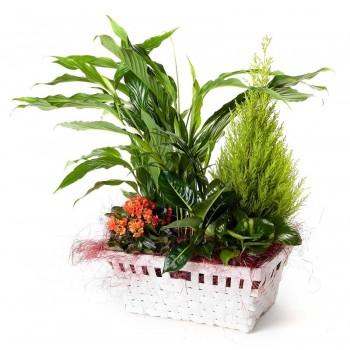 Cesta de plantas Tréveris